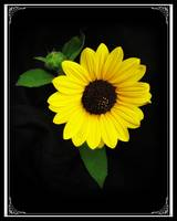 Sunflower - A Gift from God