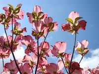 Blue Sky Floral Pink Dogwood Tree Baslee Troutman