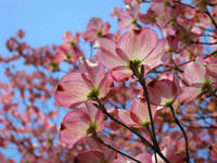 Pink Dogwood Tree Flowers Spring art Baslee