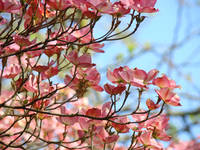 Forest Tree Art Spring Pink Dogwood Flowers