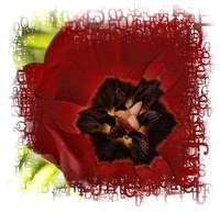 Red tulip flower/plant