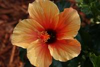 Orange hibiscus plant/flower
