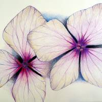 hydrangea in pencil by Louise Dionne