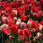 """Red and PinkTulips 7885"" by rayjacque"