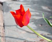 Single Red Tulip 7863