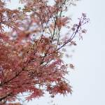 """pink Japanese maple"" by tcmelissa"