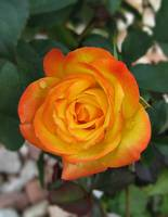 Autumn Splendor - MiniFlora Rose