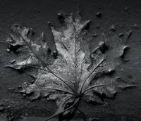 Maple leaf in puddle