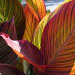 """Canna Leaves"" by janetharper"