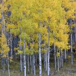 """""""Standing in the Aspens"""" by Santomarco"""