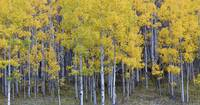 Standing in the Aspens