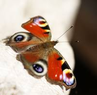 Buterfly (Inachis io)