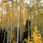 """""""Young Aspens"""" by EricGlaser"""