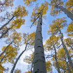 """Looking up Aspens DSC_6815"" by FindleyPhoto"