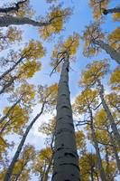 Looking up Aspens DSC_6815