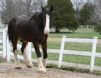 Sam the Senior Clydesdale