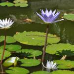 """Waterlilies in the Caribbean"" by JBrooker"