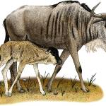 """White-Bearded Wildebeest"" by inkart"