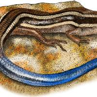 Western Skink Art Prints & Posters by Roger Hall