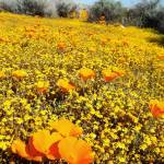 """California Poppy Patch"" by GlennMcCarthyArtPhoto"