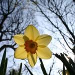 """""""Daffodil"""" by lju"""
