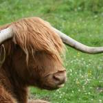 """Highland Cow"" by lju"