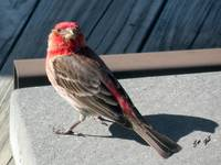 A Purple Finch Dare 5695