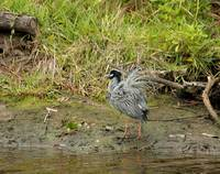 Yellow-Crowned Night Heron 8632