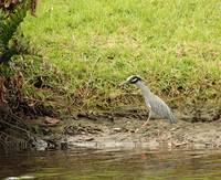 Yellow-Crowned Night Heron 8635
