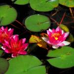 """pink water lilies"" by ImagesByDi"
