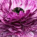 """Purple-Pink Ranunculus"" by johncorney"