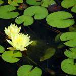 """yellow water lily"" by ImagesByDi"