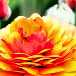 """Red and Yellow Ranunculus"" by johncorney"