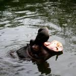 """Hippo1"" by anniemchugh"
