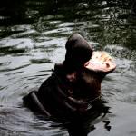 """Hippo2"" by anniemchugh"