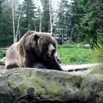 """""""Bear"""" by anniemchugh"""