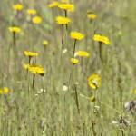 """""""Wildflowers - 1"""" by SteveNakatani"""