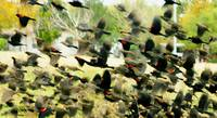 Redwing Blackbird Explosive Flight