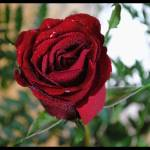 """A ROSE BY ANY OTHER NAME...."" by xhandi"