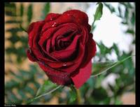 A ROSE BY ANY OTHER NAME....