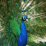 """Peacock"" by raetucker"