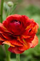 Red and Orange Ranunculus Flower