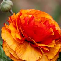 Gold and Red Ranunculus Flower