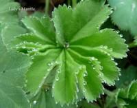 Lady's Mantle with title