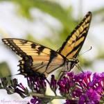"""""""Easter Tiger Swallowtail"""" by dealexann"""