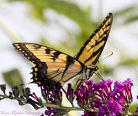 Easter Tiger Swallowtail