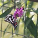 """Zebra Swallow Tail-2010"" by dealexann"