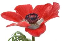 Red Anemone On White