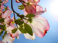 Floral art Pink Dogwood Flowers Baslee Troutman
