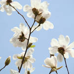 """White Magnolia Tree Flowers Blue Sky"" by BasleeTroutman"